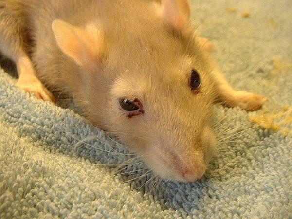 Кровь из глаз у крысы