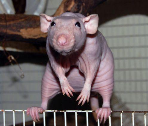 Крыса сфинкс сидит на клетке