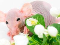 Крыса сфинкс и цветы