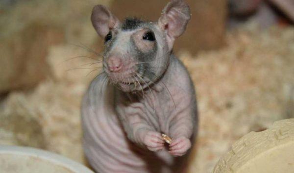 Крыса сфинкс на стандарте