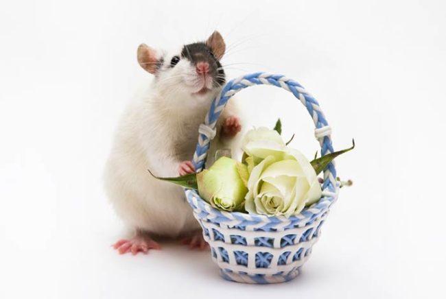 Крыса с корзинкой цветов
