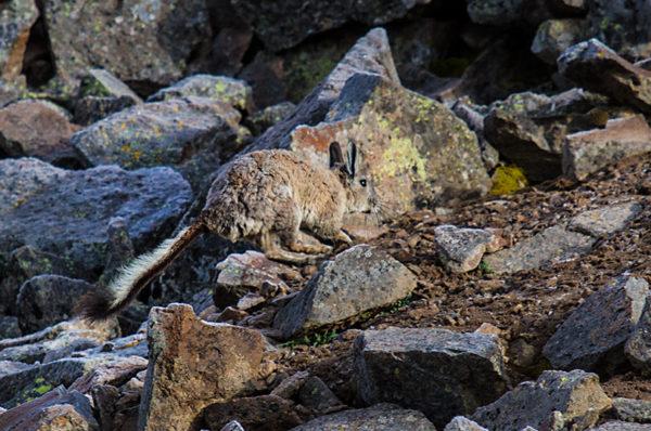 Окрас дикой шиншиллы - ее защита от хищника