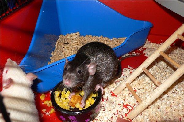 Лоток для крысы
