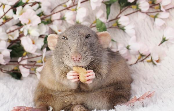 Красивое фото крысы