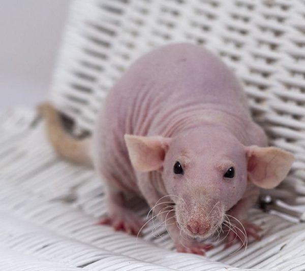 Крыса сфинкс на дабл-рексе