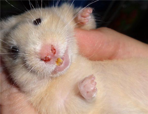Как выглядит порфирин у крысы
