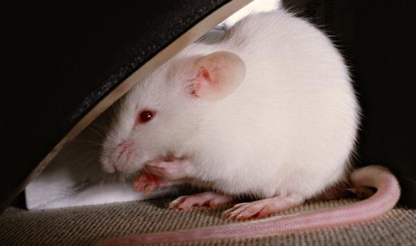 Крыса альбинос прячется