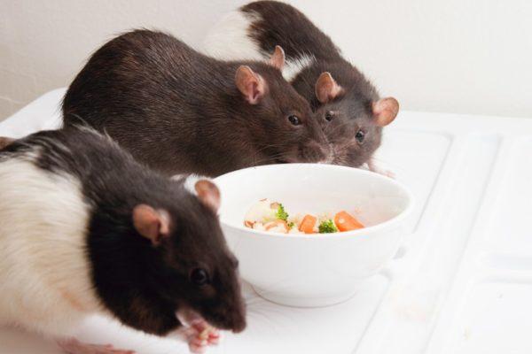 Крысы едят корм