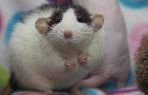 Толстенькая крыса