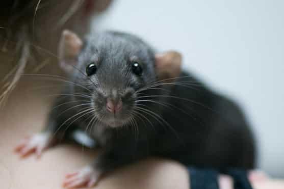 Крыса сидит у женщины на плече
