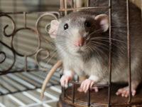 Красивое фото крысы в кованной клетке