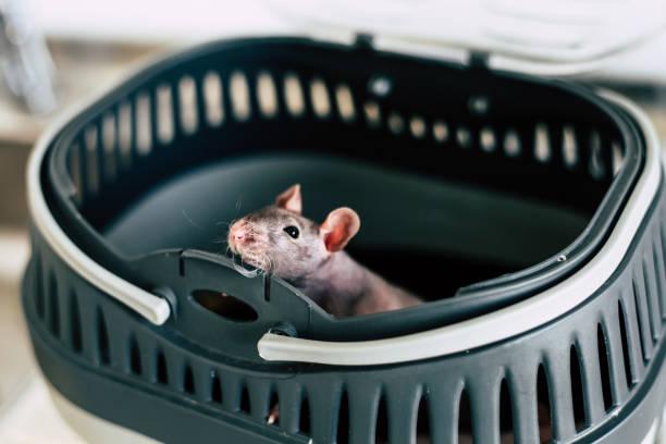 Крыса в переноске