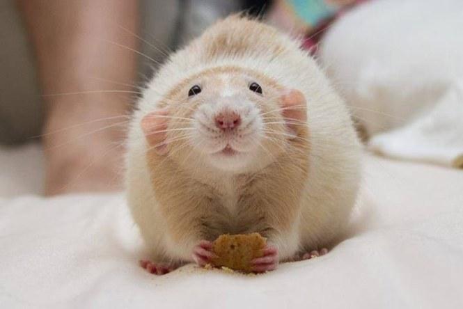 Крыса с печенькой