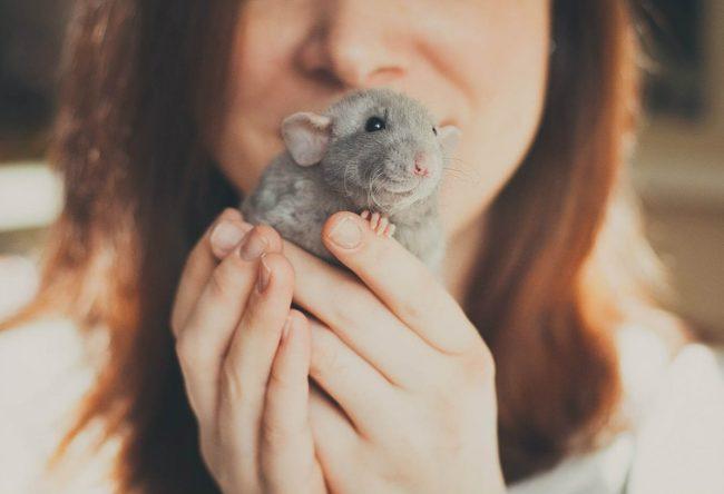 Крыса на руках у человека
