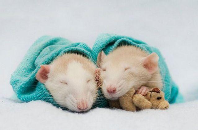 Две крысы сладко спят