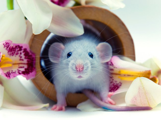 Милая крыса и орхидеи