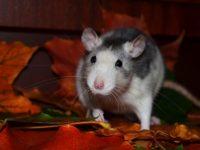 Крыса в осенних листьях