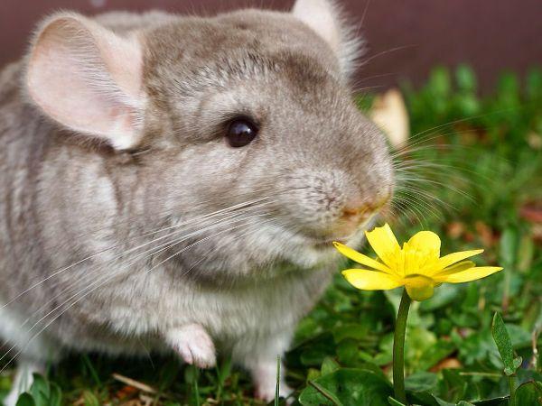 Шиншилла нюхает цветок