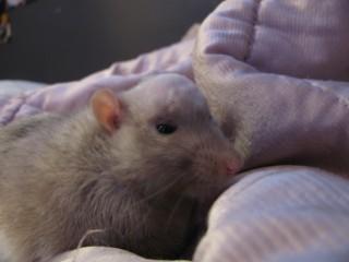Опухоль головного мозга у крысы