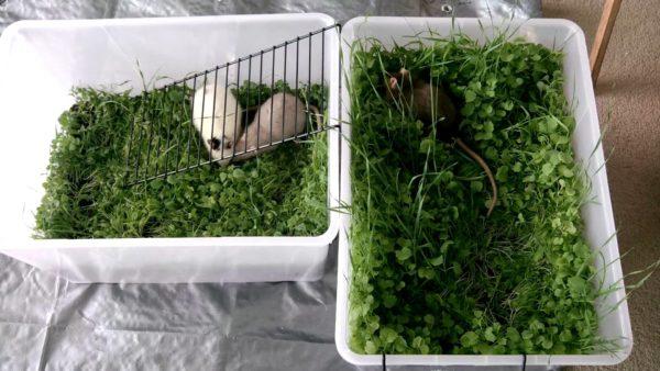 Зеленая лужайка для крыс