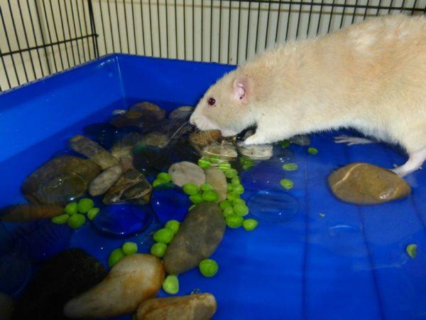 Водное развлечение для крыс