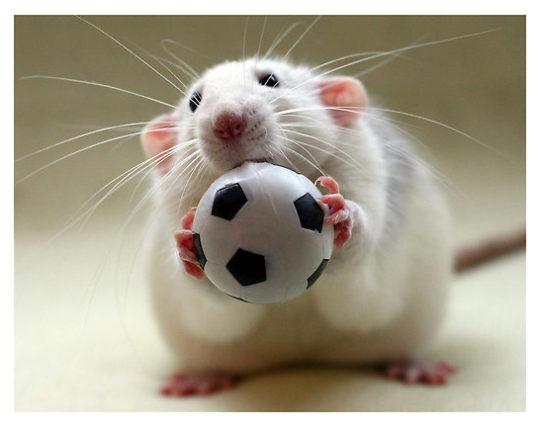 Крыса и футбольный мяч