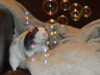 Крыса и мыльные пузыри