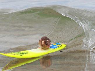 Крыса занимается серфингом