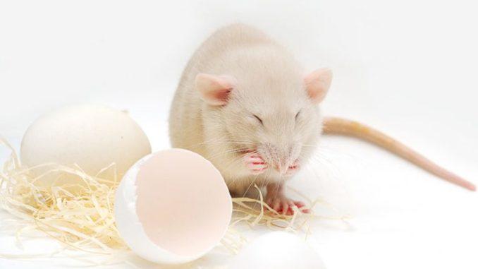Крыса ест куриное яйцо
