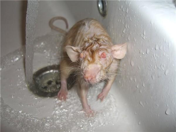 Мокрая крыса