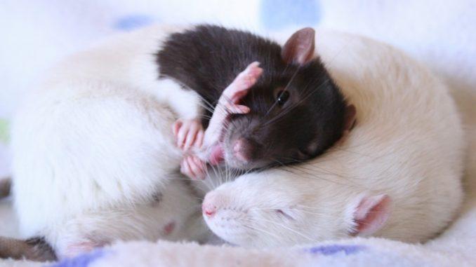 Две крысы спят вместе