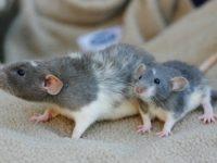 Мама крыса и ее детеныш