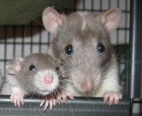 Взрослая крыса и малыш
