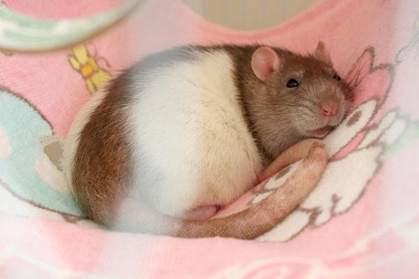 Крыса отдыхает в гамаке