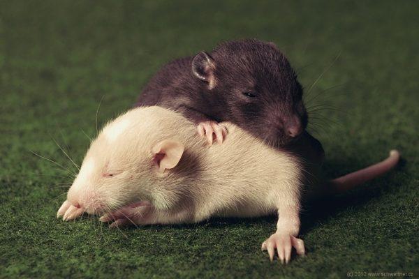 Два крысенка спят