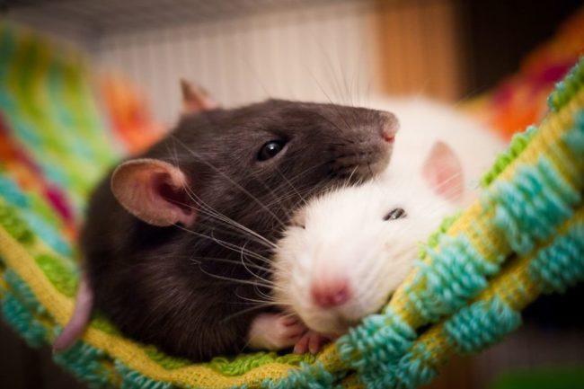 Черная и белая крыса спят вместе