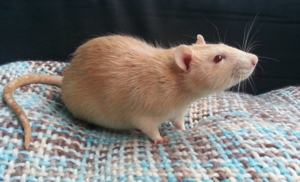 Крыса породы дамбо окрас амбер