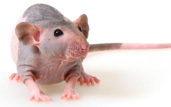 Крыса породы дамбо сфинкс