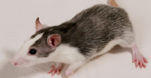 Крыса породы дамбо окрас хаски