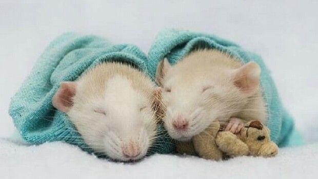 Две крысы рядом
