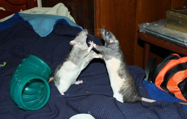 Две крысы стоят напротив, касаясь передними лапами