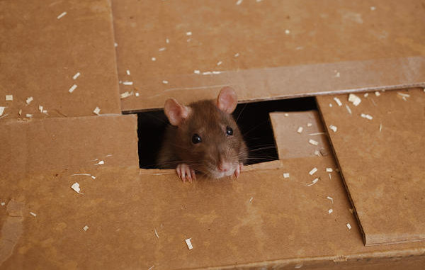 Крыса выглядывает из коробки