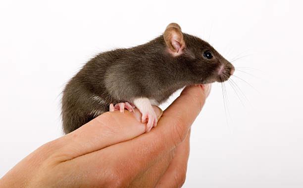 Крыса сидит на руке