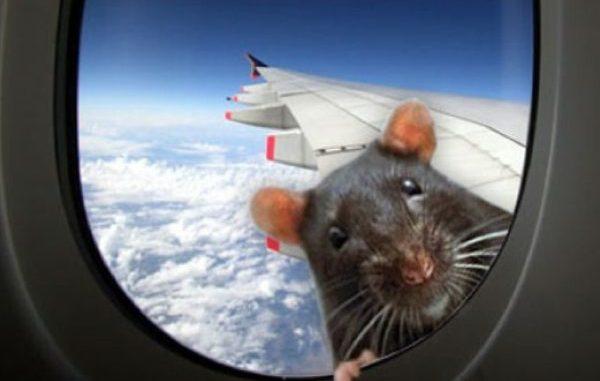 Крыса заглядывает в иллюминатор