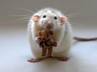 Крыса с игрушкой