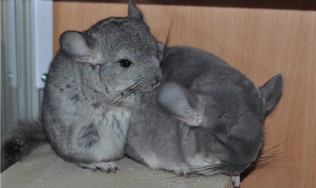 Самец и самка шиншиллы