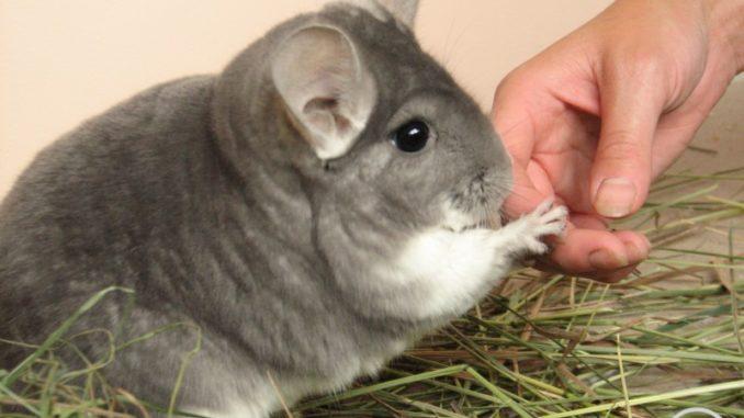 Шиншилла держит палец
