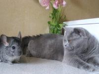 Кот и шиншилла