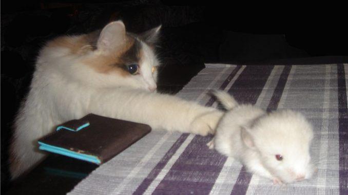 Кот протянул лапу к шиншилле