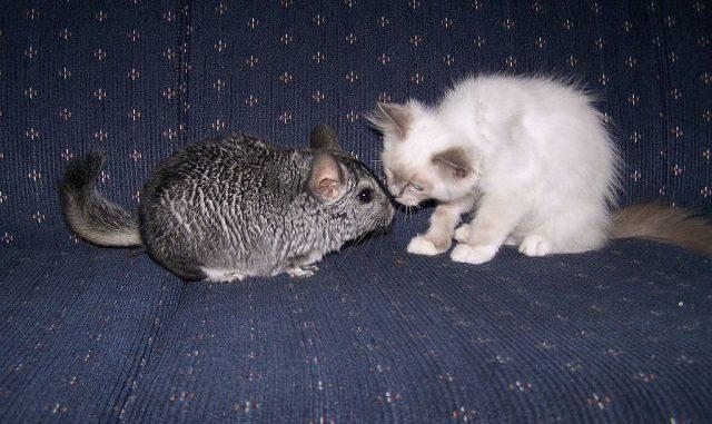 Шиншилла и котенок
